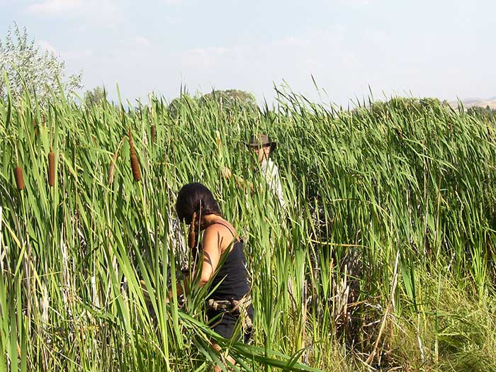 Harvesting cattails